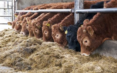 Limousin_Heifers_on_Silage_1_OGP